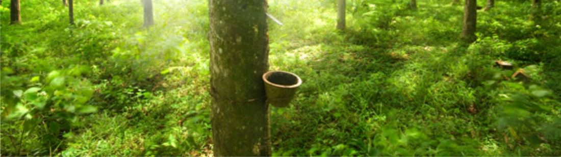 Natural Latex Harvesting - GeoFoam